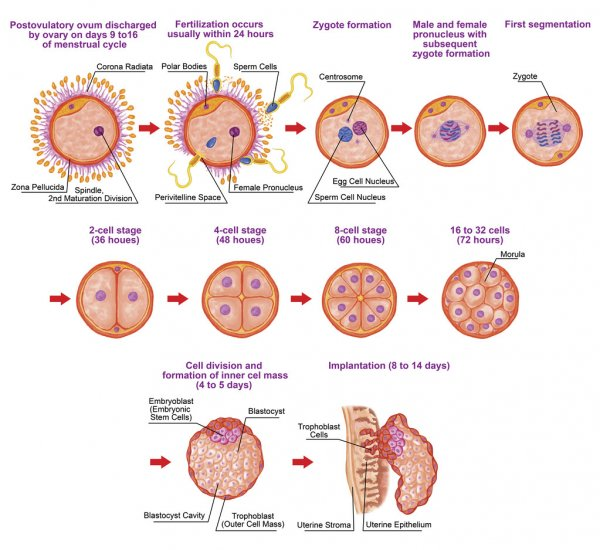 Human ontogeny, fertilization, developmental stage, embryology, cells development in the uterus, human embryogenesis, cell division, cleavage, blastulation, implantation, after Sadler Stock Image